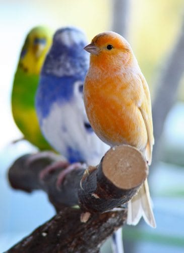 domestic canary and budgerigar