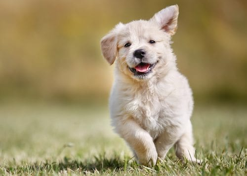 golden retriever puppy happily running in grass