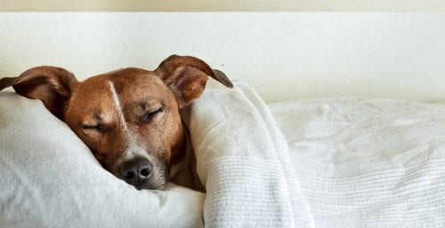 dog asleep in bed