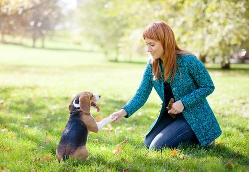 Woman teaching beagle dog to shake hands/paws in park