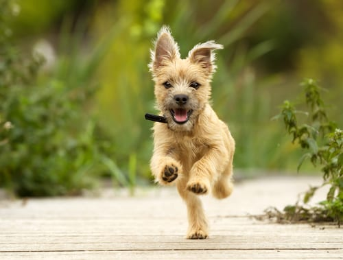 terrier puppy running on sidewalk