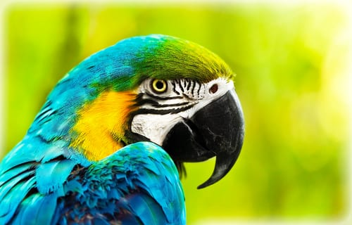 Close-up of colorful African macaw parrot
