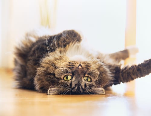 Funny cat is lying relaxed on his back and looking playful into the camera, indoor